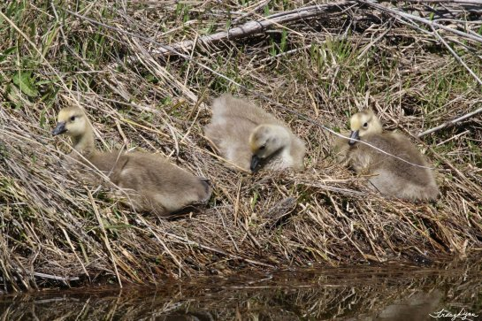 3 Older Goslings