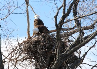 Bald Eagles Nesting