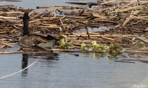 Canadian Goose/Goslings