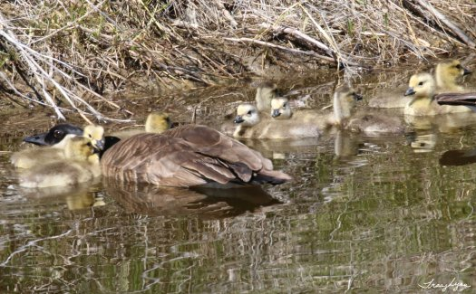 Older Goslings and Protective Parent
