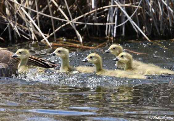 Small Goslings on the Marsh
