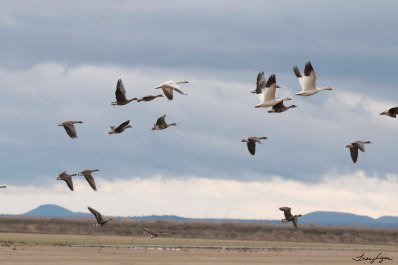 Snow Geese and White Fronted Geese