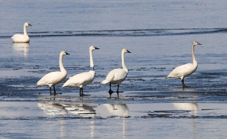 Tundra Swans blog