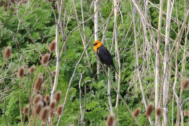 Yellowheaded Blackbird