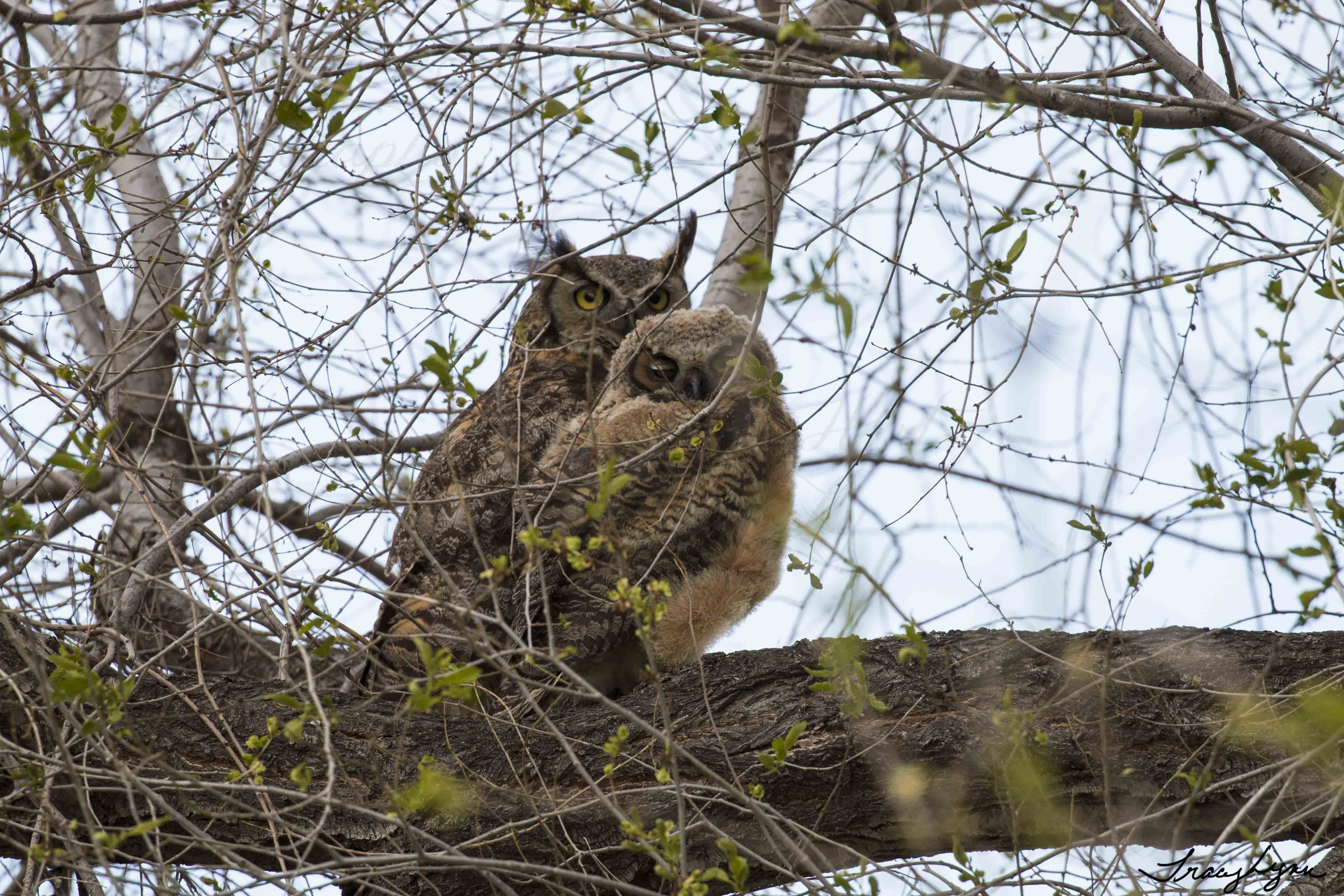GH Owl Fledling and Parent