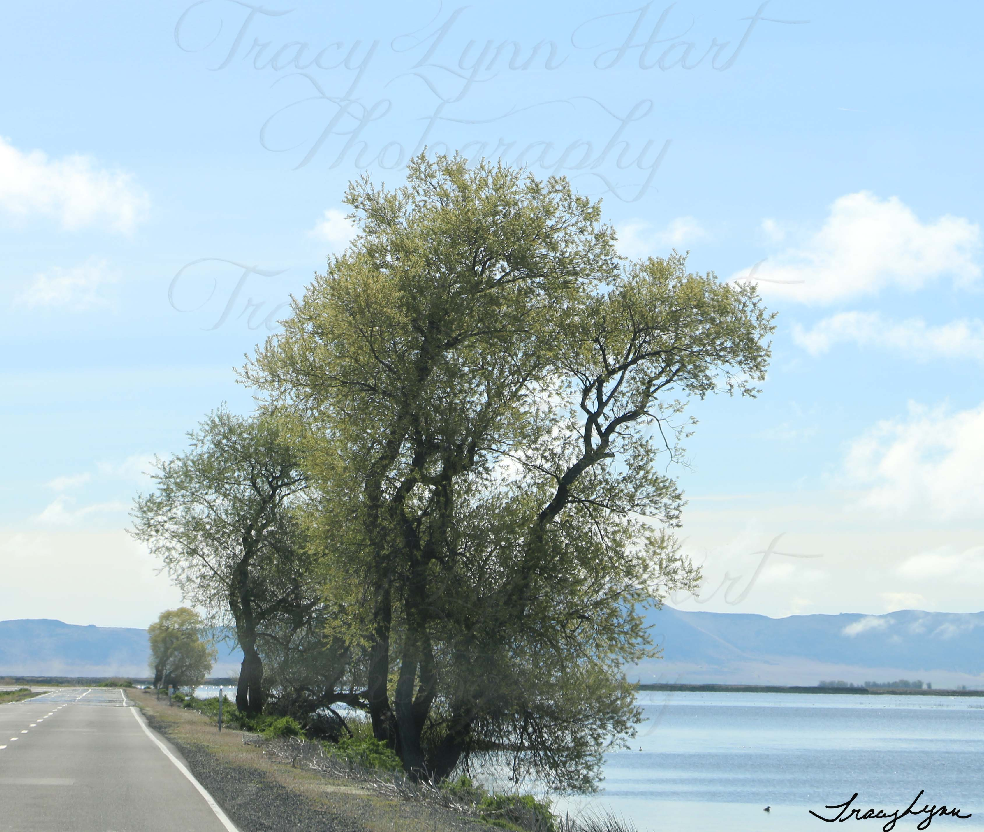 Tree along stateline 1
