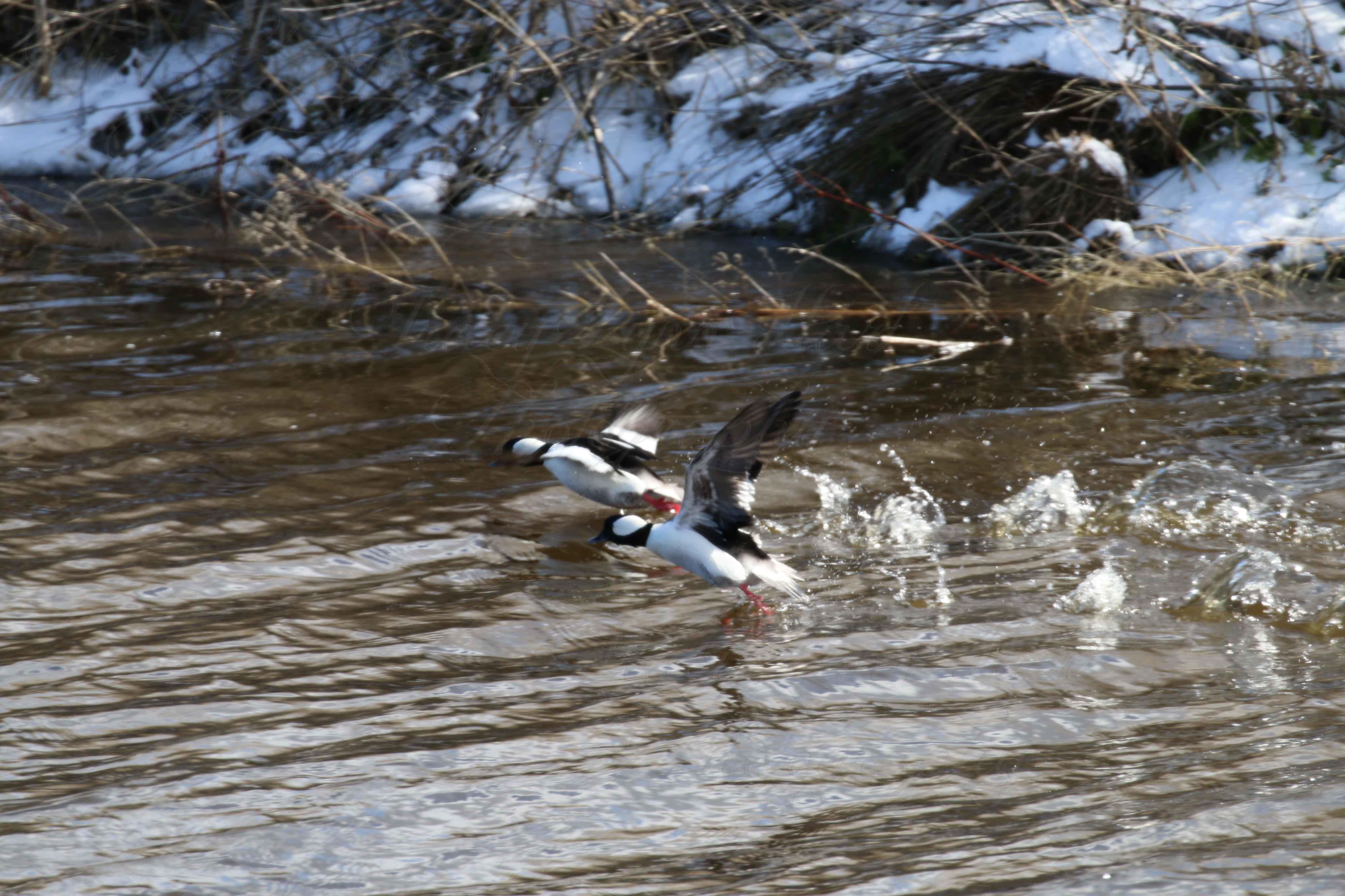 Ducks 01