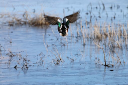 Ducks 02
