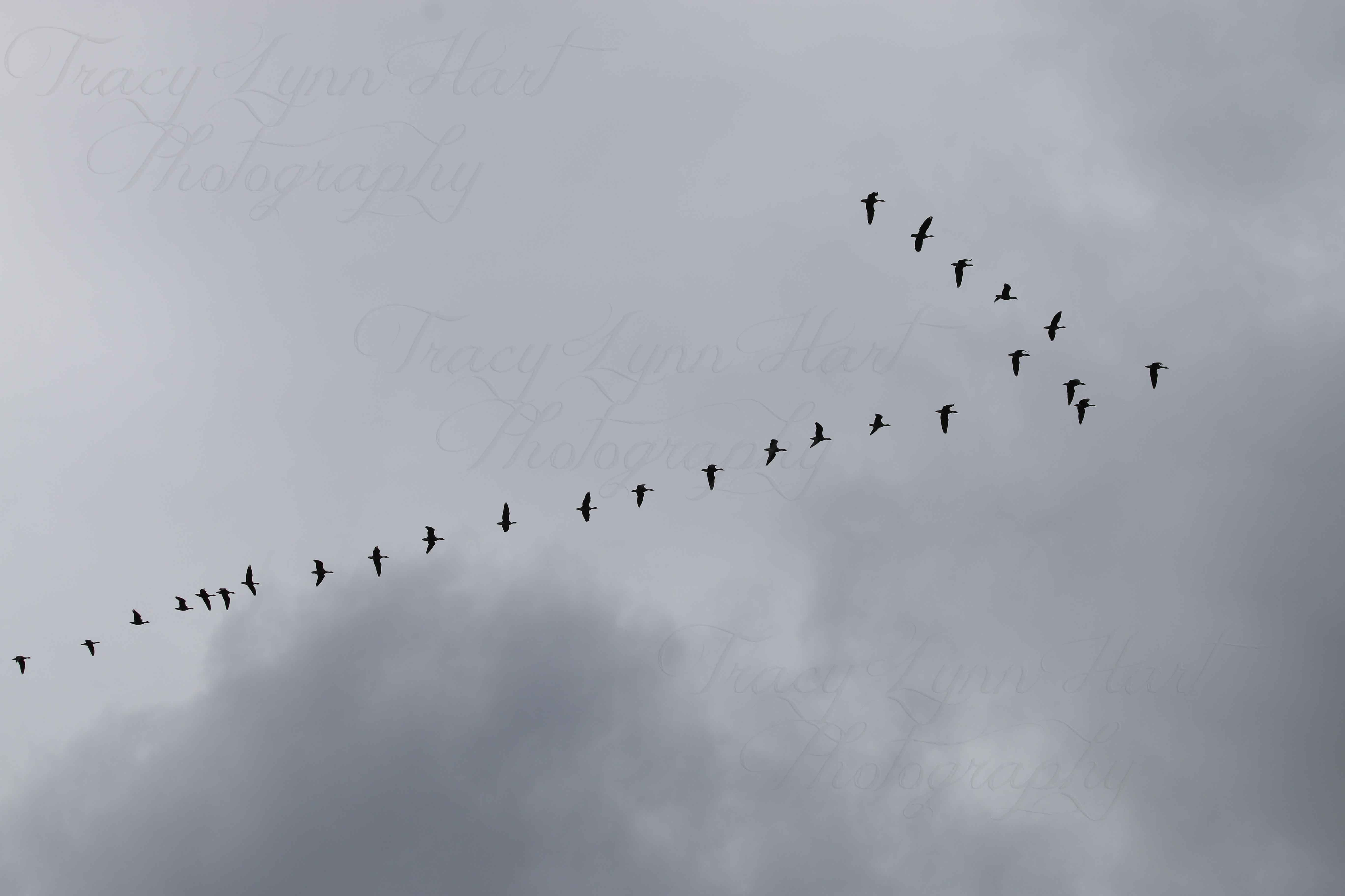 Geese in flight 02