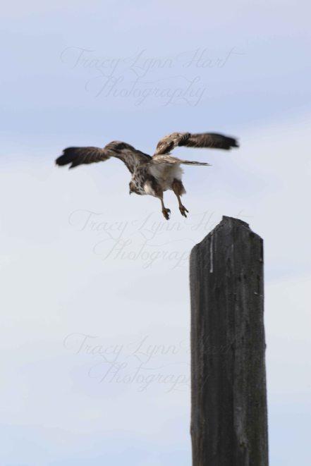 hawk 06
