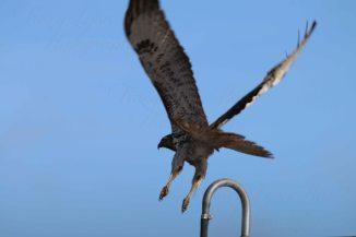 Hawk 08