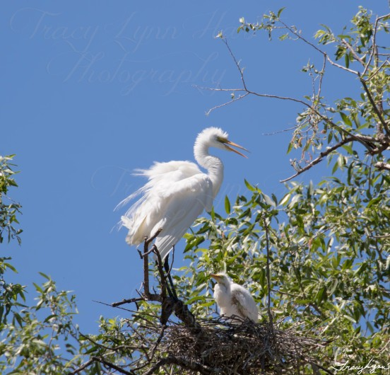 Egret baby 01