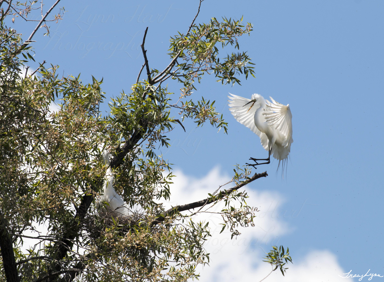 Egrets 05