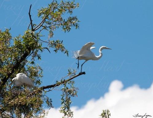 Egrets 08