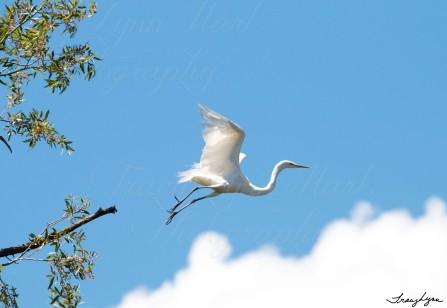 Egrets 09