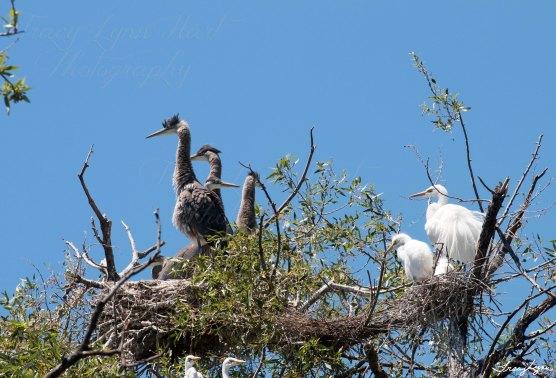 Heron Egret Babies 01