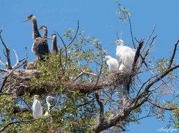 Heron Egret Baby 02