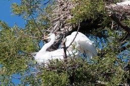 Nest Egrets 02