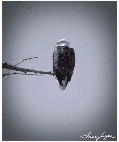 Eagle bw 01