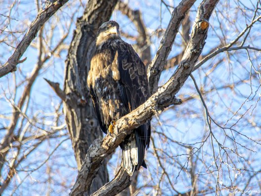 Juvenile Bald Eagle 01