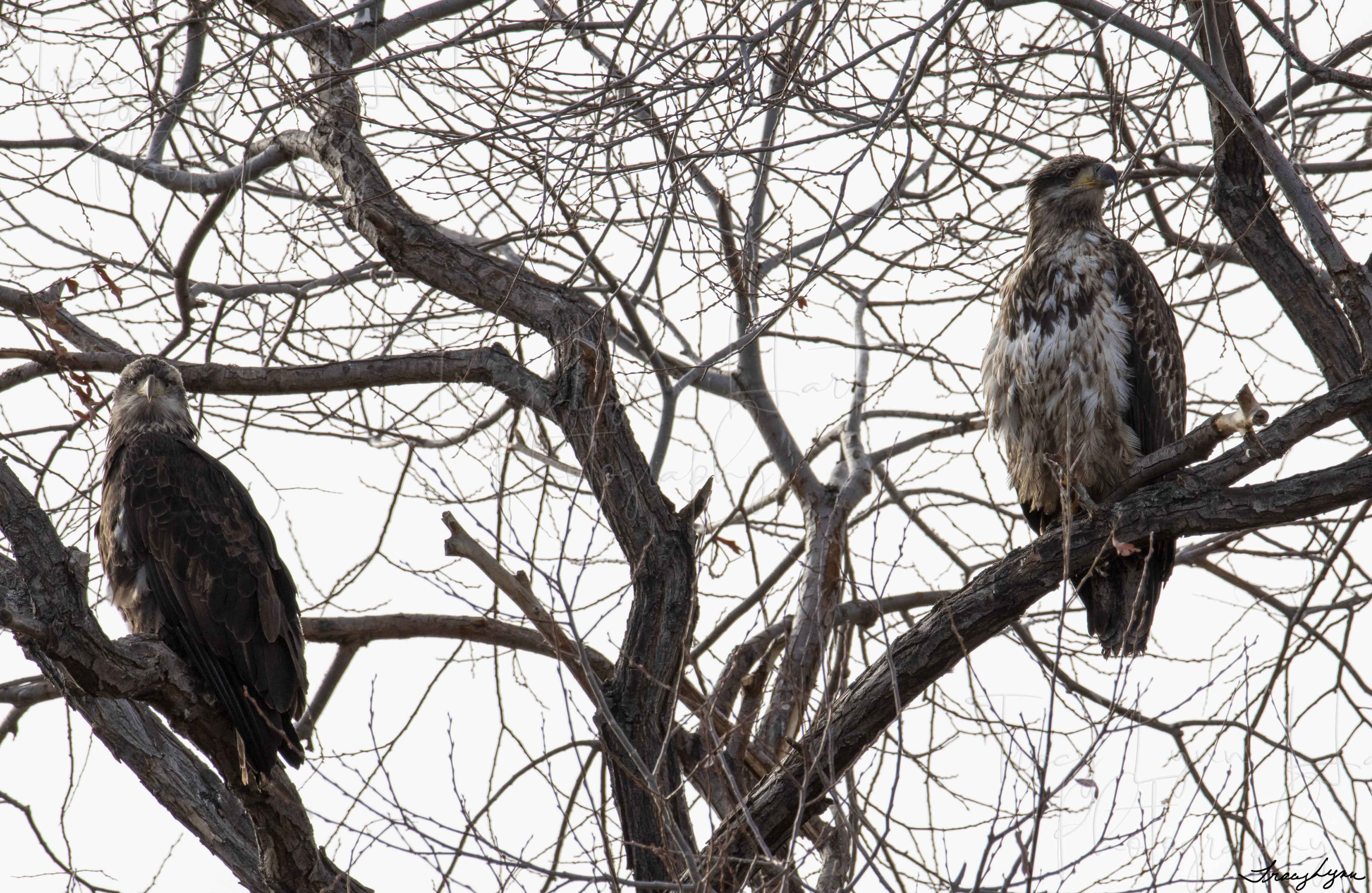 Juvenile Eagles 03